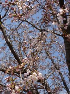 Sakura15_2